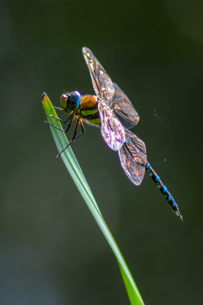 Dragonfly having a rest