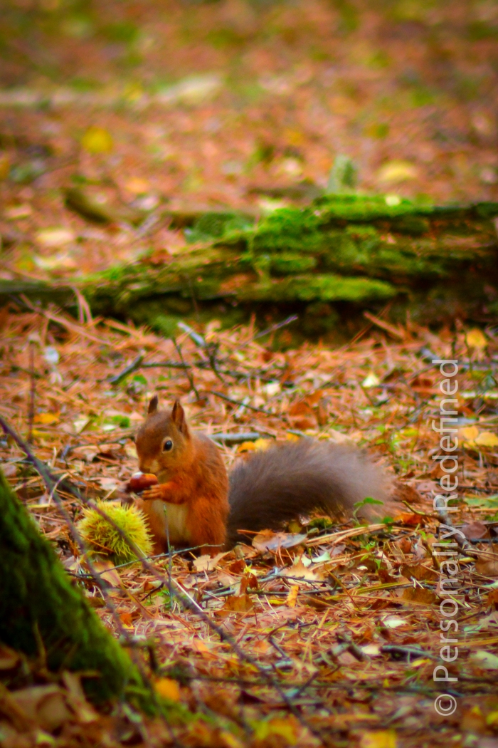 Squirrel! Red squirrel to be exact - Brownsea Island, Dorset