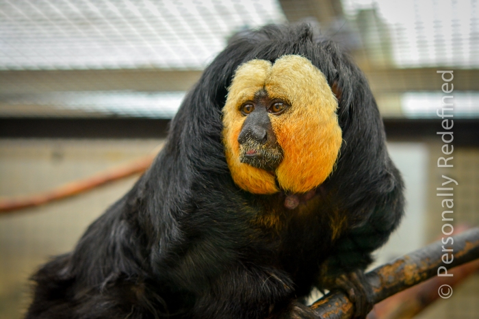 Jethro, the white faced saki monkey - Monkey World, Dorset