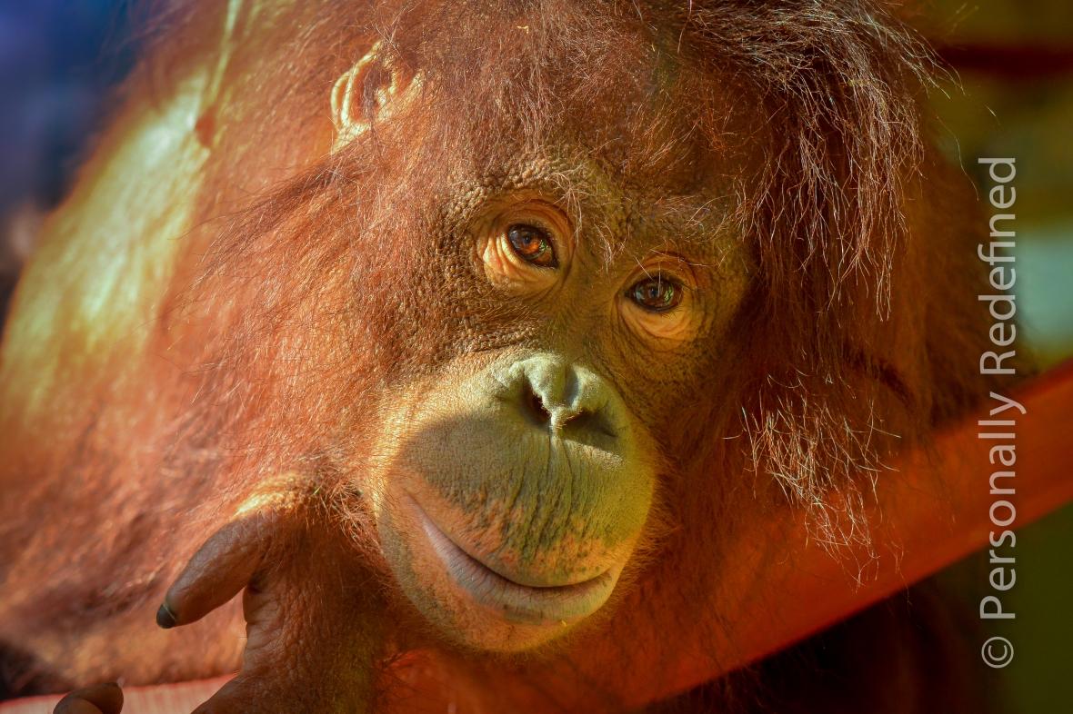 Joly (I think) the Orang-utans - Monkey World, Dorset