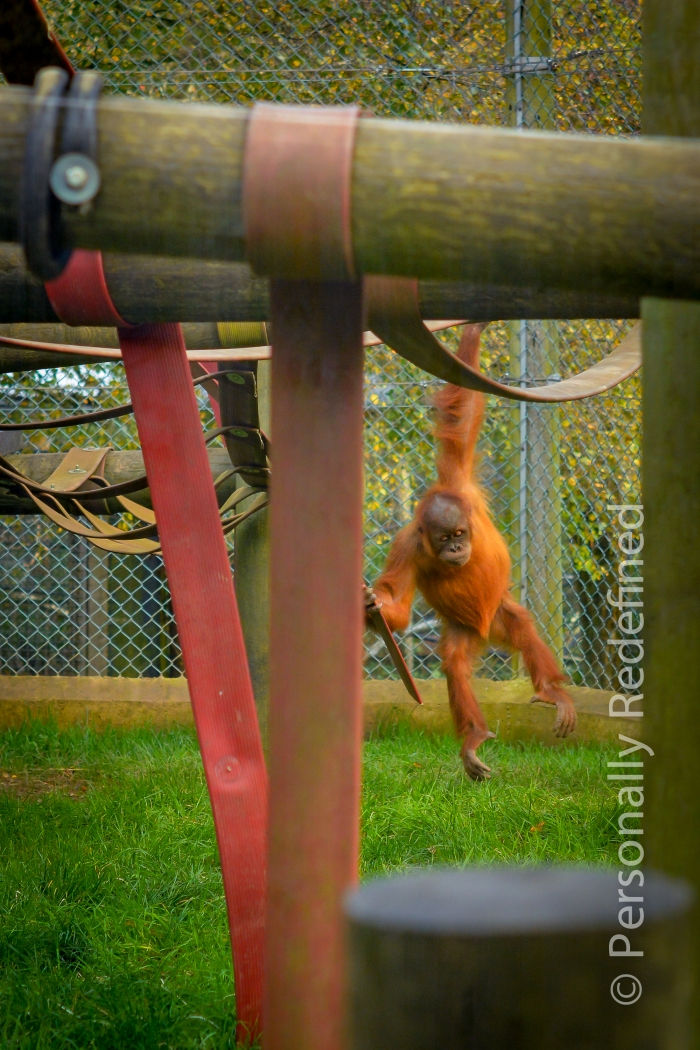 Silvestre: the wild child of the Orang-utans - Monkey World, Dorset