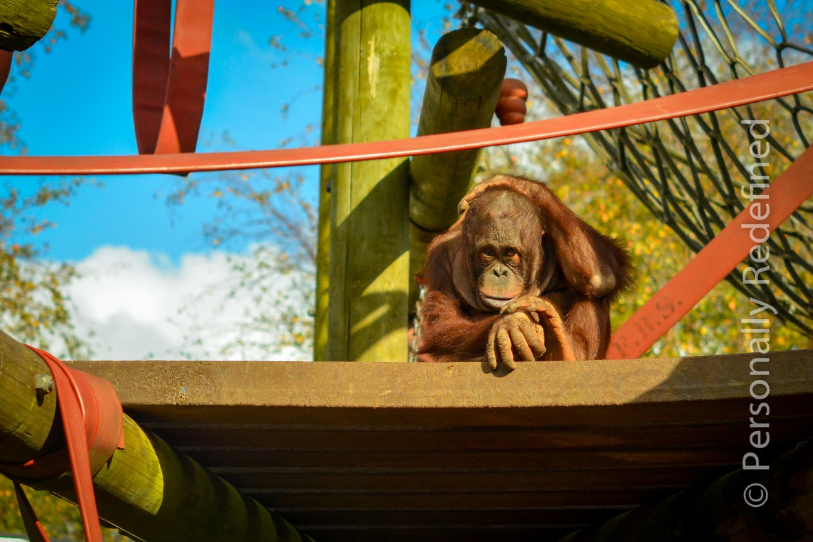 Jin dispairs at carnage that is Silvestre - Monkey World, Dorset